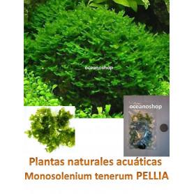 Musgo Monosolenium tenerum Pellia moss 5x5cm