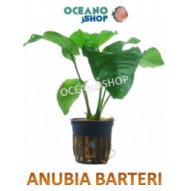 anubia barteri barata acuario planta