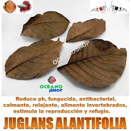 20 Hojas de Juglans ailantifolia 9-12cm