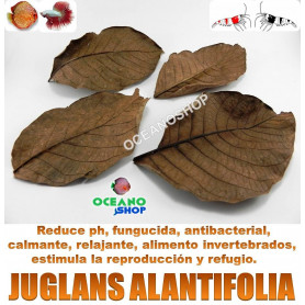 50 Hojas de Juglans ailantifolia 9-12cm