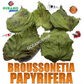 broussonetia papyrifera terminalia catappa hojas gambas discos almendro indio