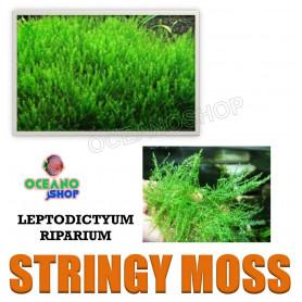 leptodictyum riparium stringy moss musgo acuario gambiario