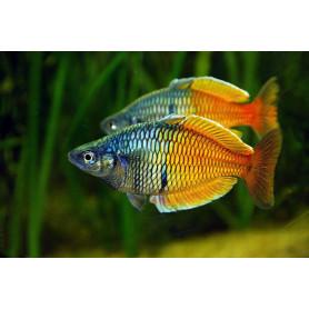 Pez arcoiris melanotaenia boesemani 4 - 5cmnotaenia boesemani