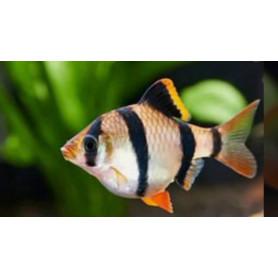 Barbo tetrazona 1,5-2cm