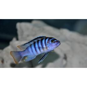 pseudotropheus zebra azul
