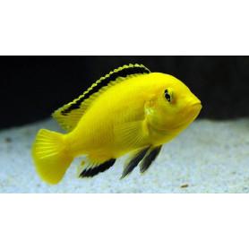 labidochromis caeruleus 3-4cm