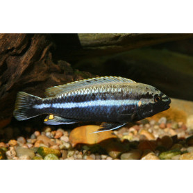Melanochromis auratus 3-4cm