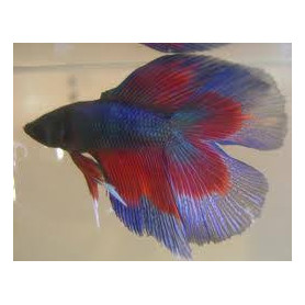 Betta splendens macho doble cola Luchador de Siam Pez Betta