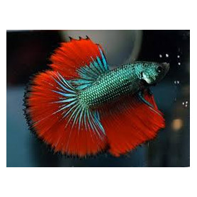 Betta splendens macho cola media luna Luchador de Siam Pez Betta