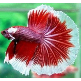 Betta splendens macho cola luna llena Luchador de Siam Pez Betta