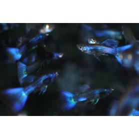 Guppy blue moscow macho