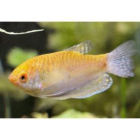Trichogaster trichopterus gurami oro