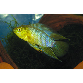 Apistogramma Borelli Yellow Head