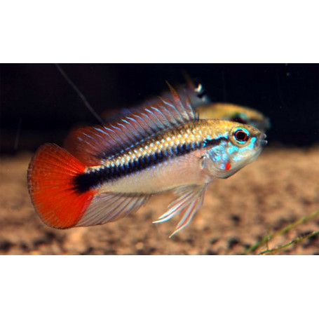 Apistogramma SP Mamore Red
