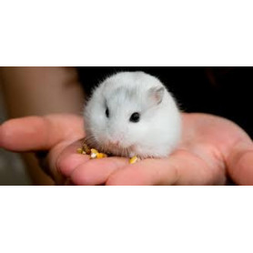 Hamster ruso color blanco