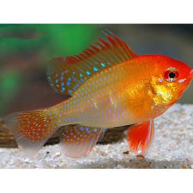 Papiliochromis Ramirezi Red Gold