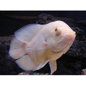 Astronotus Ocellatus Albino Oscar Albino