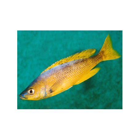 Cyprichromis leptosoma gold