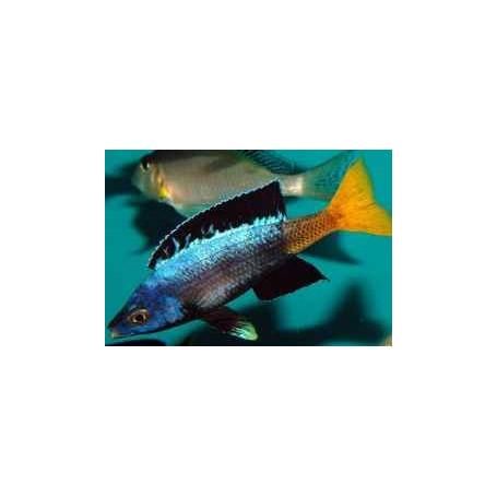 Cyprichromis leptosoma moba