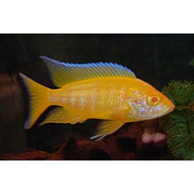 Aulonocara Lemon Yellow Albino