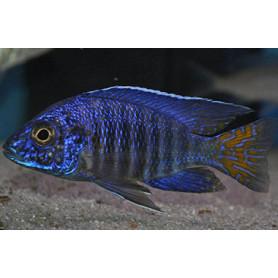 Aulonocara SP Super Blue