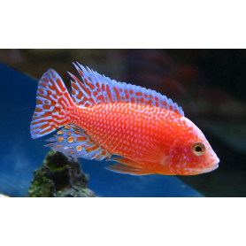 Aulonocara SP Firefish