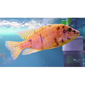 Aulonocara SP Orange Blanche