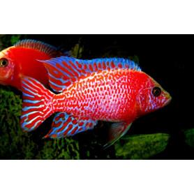 Aulonocara SP Red Dragon