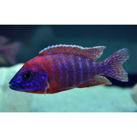 Aulonocara SP Rubin Red