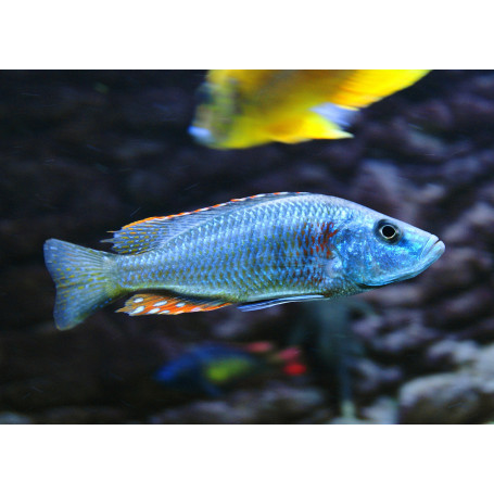 Dimidiochromis Strigatus
