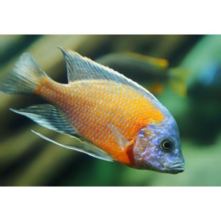 Haplochromis Borleyi Red Fin