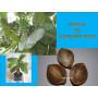 semilla almendro indio