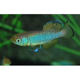 Nothobranchius guentheri blue