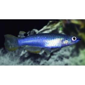 Aplocheilus panchax - Panchax azul