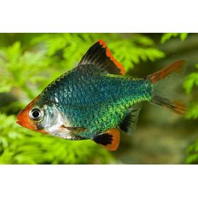 Barbus tetrazona green