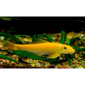Gyrinocheilus aymonieri gold - Come algas chino gold