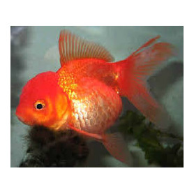 Carassius auratus red oranda