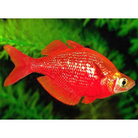 Glossolepis incisus - Pez arcoiris rojo Nueva Guinea