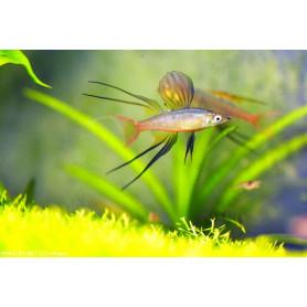 Iriatherina werneri - Pez arcoiris de aleta filamentosa