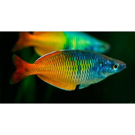 Melanotaenia boesemani - Pez arcoiris de Boesemani