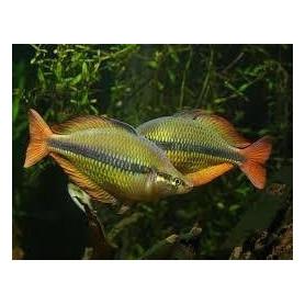 Melanoteania papuensis - Pez arcoiris papuensis