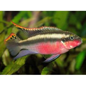 Pelvicachromis Pulcher Red
