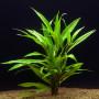 hygrophila corymbosa salicifolia