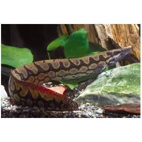Mastacembelus armatus - Anguila zigzag