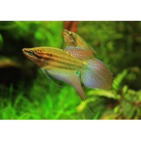 Trichopsis vittatus - Gurami enano cantarin