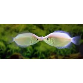 Helostoma temmincki - Gourami besucon