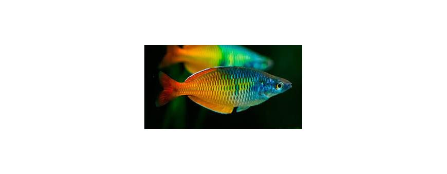 Peces arcoiris