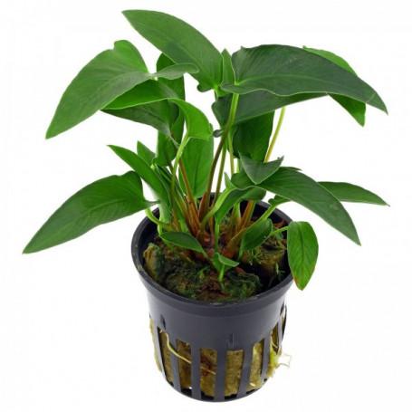 Anubia gracilis