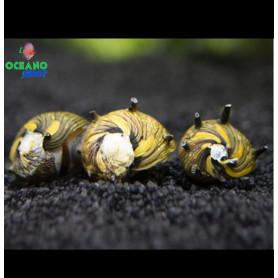 caracol nerita snail sun