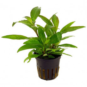 Hygrophila corymbosa angustifolia rubra
